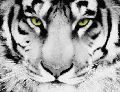 Tiger Oil Canvas Paintings