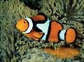 Live Egg Laying Fish