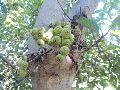 Ficus Glomerata Plant