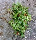 Rauvolfia Serpentina Plant