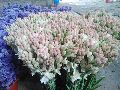 Fresh Tuberose Cut Flower