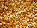 Grade 1 Yellow Corn Seeds