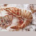 Sea Tiger Shrimp