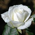 Fresh White Rose