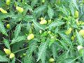 Hy chili seed