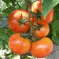 op tomato seed