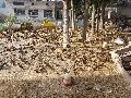 Golden 300 Ducklings