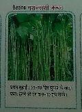 Yash Kashi Kanchan Fresh Green Beans
