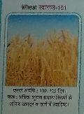 Swaraj-101 Wheat Seeds