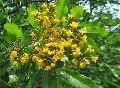 Vijaysar Pterocarpus marsupium