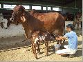 Live Gir Cow
