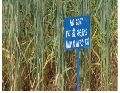 Wheat Seed (PBW-343)