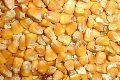 Animal Feed Yellow Maize