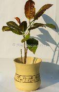 croton iceton plant