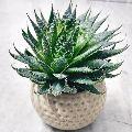 Haworthia in White Ceramic Pot
