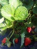 Camarosa Strawberry Plants