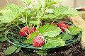 Winter Dawn Strawberry Plants