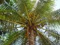 East Coast Tall-coconut Plants