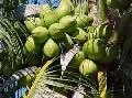Malayan Green coconut Plants