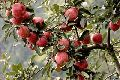 Himachal Apple