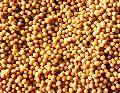 Yellow Mustard Seeds