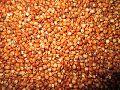 Sorghum Sudan Grass Seeds