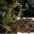 Achar , Chironji Tree Seeds ( Buchanania Lanzan )