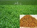 Alfalfa ( Lucerne ), Grass Seeds ( Medicago Sativa )