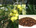 Aonla fruit seeds ( Emblica officinalis )