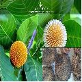Kadam Ornamental Tree Seeds ( Anthocephalus cadamba )