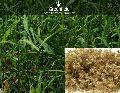 palmarosa grass seeds ( Cymbopogon martinii )