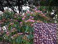 Rain Ornamental Tree Seeds ( Samanea Saman )