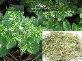Medicinal Seeds ( Stevia Rebaudiana )