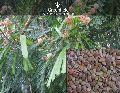 Su-babool Tree Seeds ( Leucaena leucocephala )