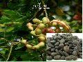 Vilayati Imli fruit seeds ( Pithecellobium Dulce )