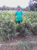 Guava Grafting Plant
