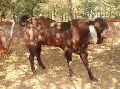 Live Sirohi Goat
