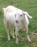 Live Thalassery Goat