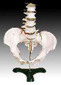 KK -014: Life-size pelvis with 5pcs lumbar vertebrae
