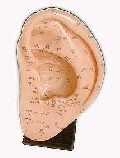 KK-095: Ear acupuncture model 22cm